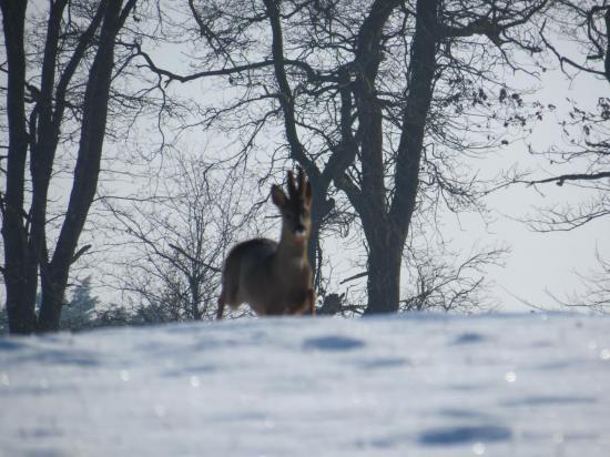 chevreuil fev2012